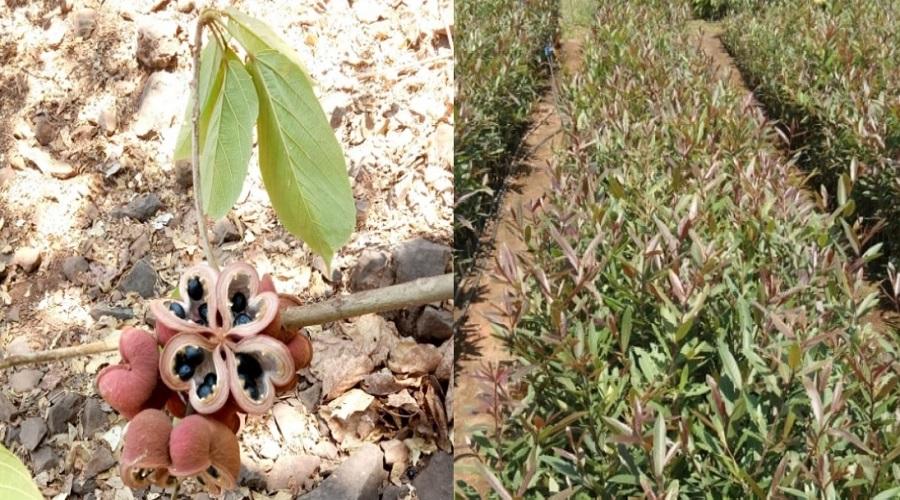 વલસાડ: ધરમપુરના જંગલોમાં 19 જાતિના દુર્લભ વૃક્ષો મળી આવ્યા