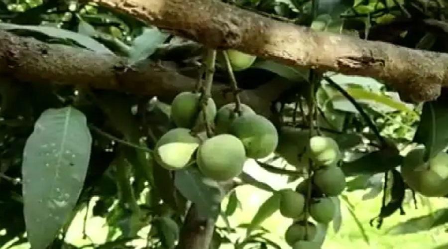 દુનિયાની આઠમી અજાયબી જેવો કેરીનો ઝાડ, એક જ ઝાડ પર ઉગે છે 121 જાતની કેરીઓ