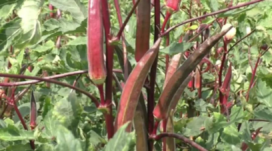 શું લાલ ભીંડી વિશે જાણો છો? લીલી ભીંડી કરતાં વધુ પૌષ્ટિક છે લાલ ભીંડી, ગુજરાતમાં પણ થાય છે ખેતી